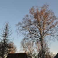Bäume auf dem Grundstück – Achtung vor Birke, Pappel & co
