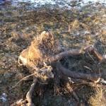Stubben vom Obstbaum nach der Fällung