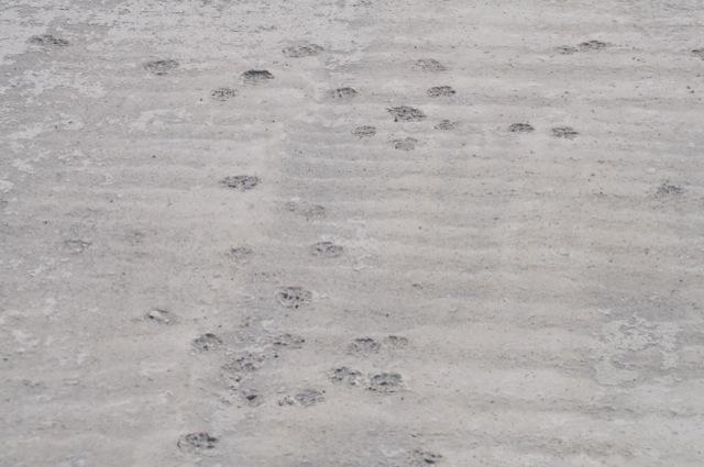 Katzenspuren auf der frischen Bodenplatte