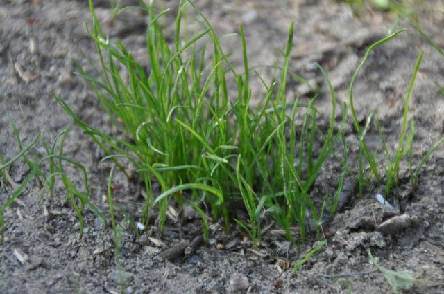 Frisch gewachsener Rasenbüschel