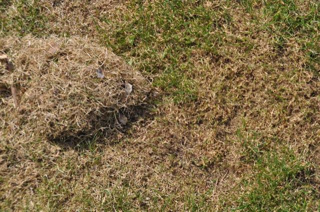 Abgestorbenes Gras und toter Rasen