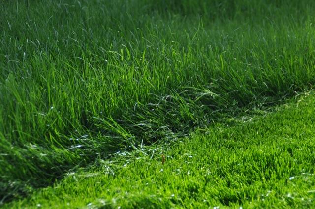 Rasenwachstum nach Düngen und Mähen