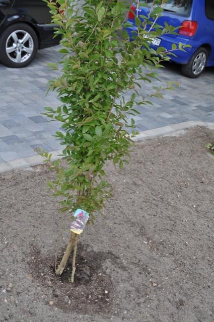 Lagerstroemia indica Violacea für den Vorgarten