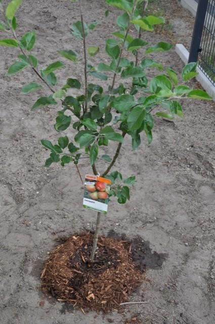Mini Apfelbaum