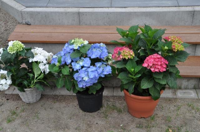 Horthensie in den Farben weiss, blau und rot