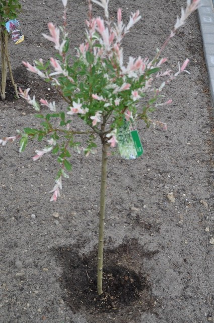 Harlekin-Weide - Salix Integra