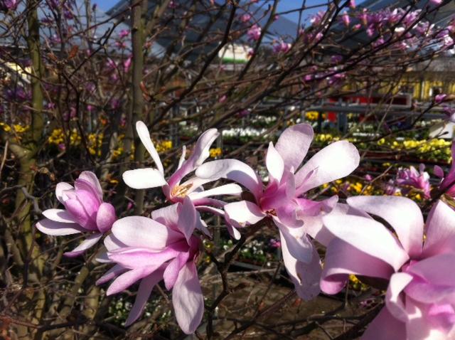 Blüte der Magnolia Stellata Rosea