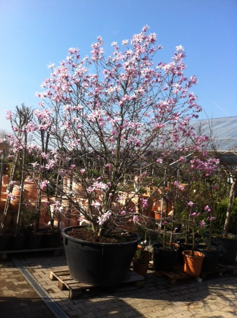 Magnolia Stellata Rosea - die hübsche Magnolie