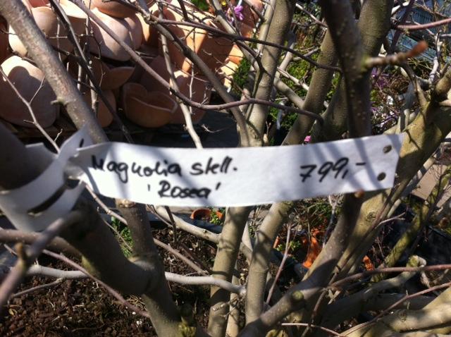 Kosten - Diese Magnolia Stellata Rosea hat ihren Preis