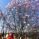 Riesengross: Magnolia Stellata Rosea