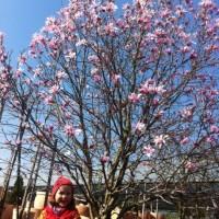 Magnolia Stellata Rosea – Die größte Magnolie der Welt (die man kaufen kann)?
