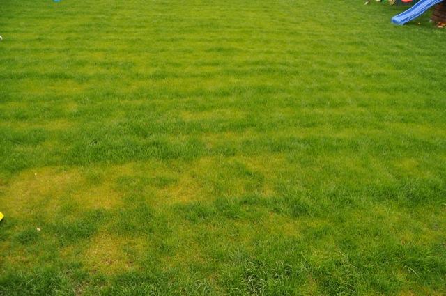 Der Rasen 3 Wochen nach Düngung mit dem Streuwagen