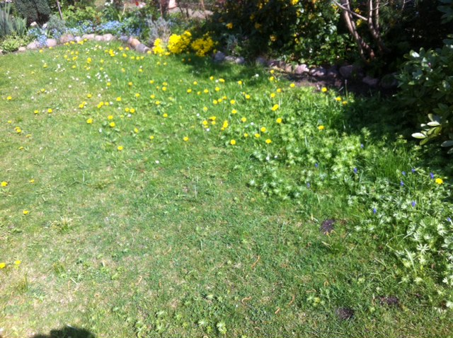 Rechtzeitig Pusteblumen im Rasen entfernen, sonst wuchern Butterstauden