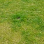 Rasen im Frühjahr - Teils deutlich über Schnittlänge