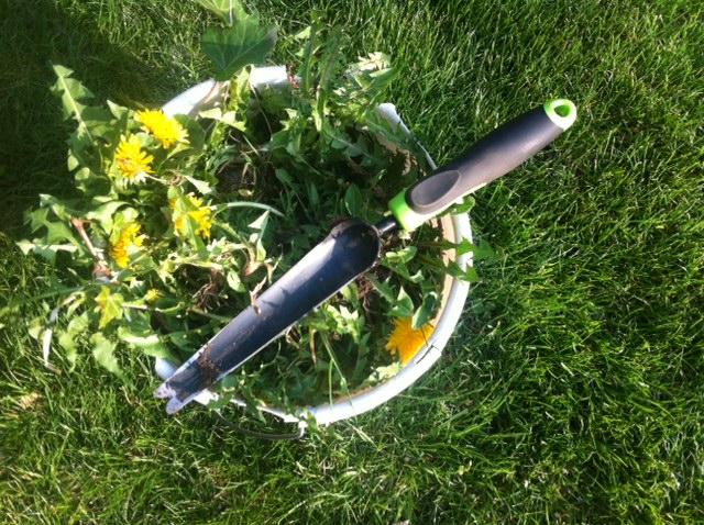 Passendes Werkzeug: Der Unkrautvernichter befreit den Rasen von Unkraut