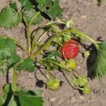 Die erste rote Erdbeere 2014