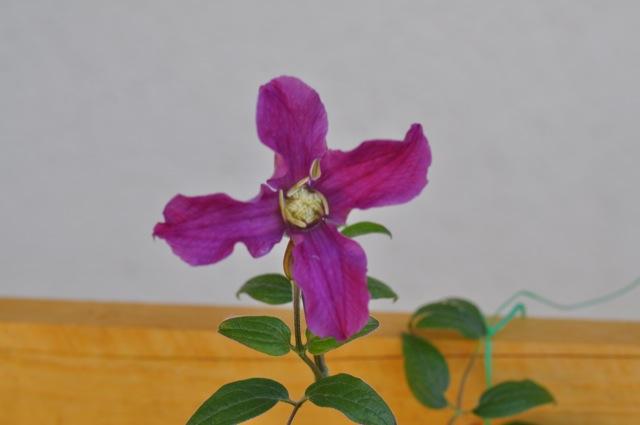 Blüte einer lila Clematis