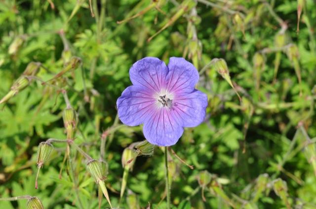 Blüte eines Storchenschnabel in lila