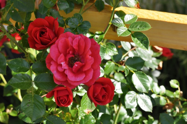 Kletterrose - Rose in Rot mit Blüte