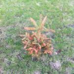 Gartentanne im Vorgarten: braun & eingegangen