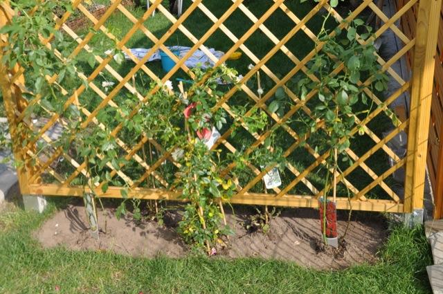 Rankgitter mit Rosen bepflanzen (natürlich Kletterrosen)