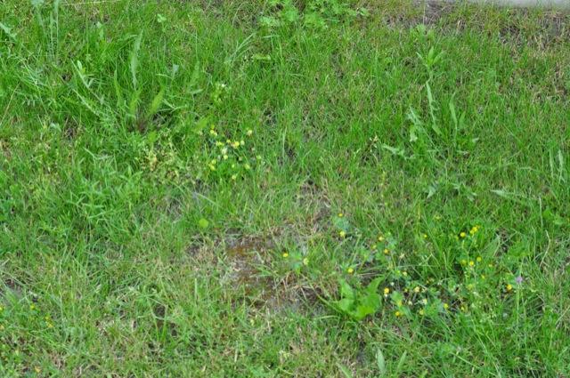 Unkraut im Rasen schreit nach Unkrautvernichtung