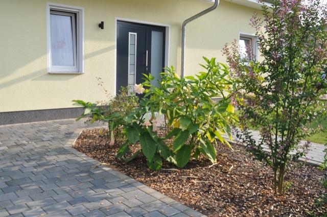 Engelstrompete: Datura fast mit Ganzjahres-Blüten im Vorgarten
