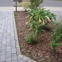 Engelstrompete (Datura) – Perfekte Blüten für den Vorgarten