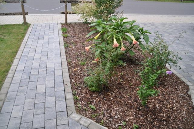 Engelstrompete - perfekt für den Vorgarten