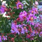 Die Blüte des Flieder des Südens