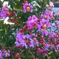 Flieder des Südens (Lagerströmie) – Tolle Blüten für den Vorgarten