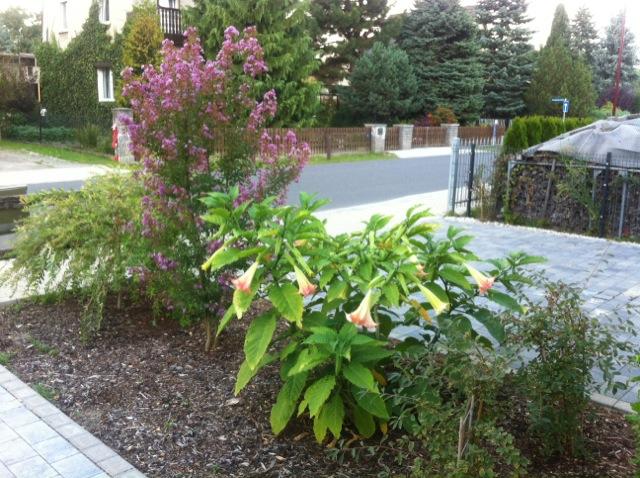 Blüte der Kreppmyrte im Vorgarten