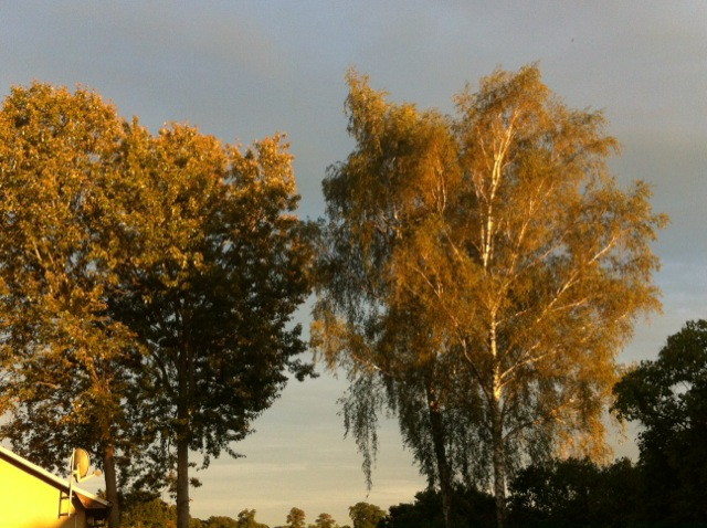Bäume auf dem Grundstück - Birke und Pappel