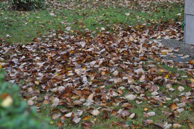 Laubbaum im Herbst: Viel Laub und Blätter der Pappel