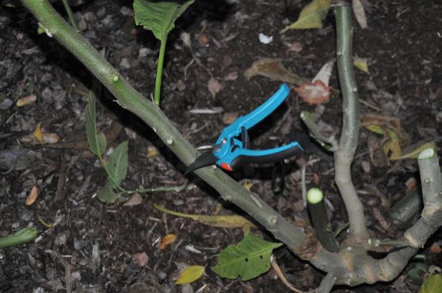 Engelstrompete kürzen - Datura kräftig zurück schneiden