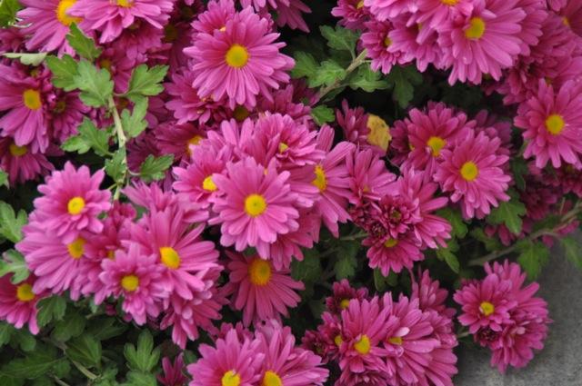 Herbstastern mit lila / rosa Blüte
