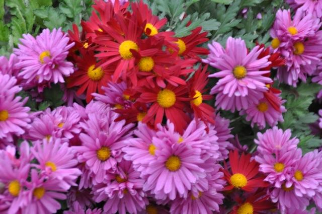Herbstastern in rot, lila und rosa