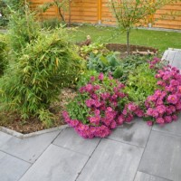 Herbstaster – tolle Blütenpracht im Herbst in lila/rosa