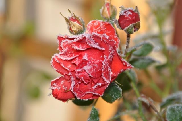 Frost und Eis an der roten Rose