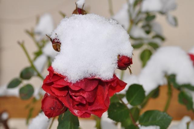 Rote Rose und weisser Schnee