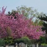 Toller Baum mit massenhaft Blüten - leider vom Nachbarn :-(