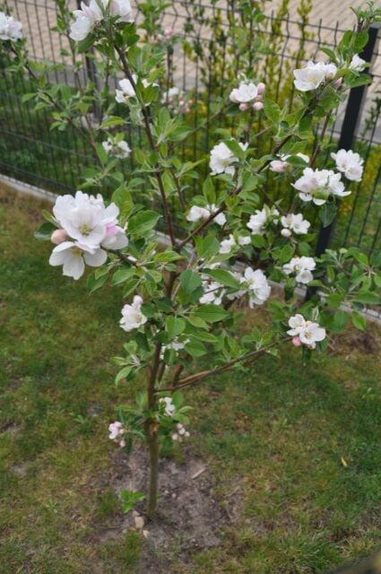 Kleiner Obstbaum - Blüten vom Zierapfel
