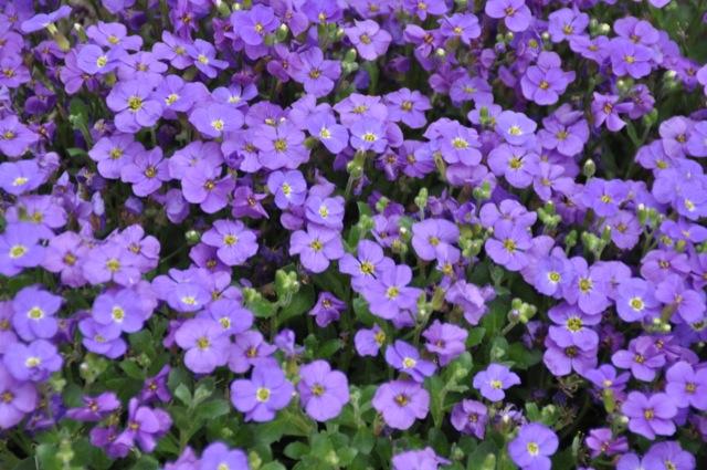 Hübsche Blüten vom blauen Veilchen