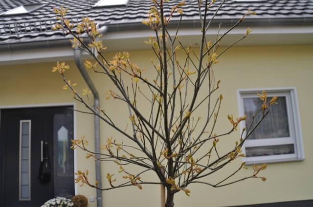 Kugelsumpfeiche mit zarten Knospen im Frühjahr