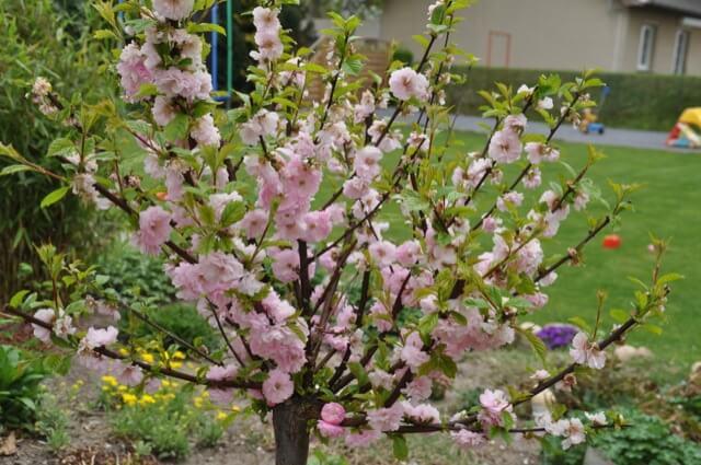 Mandelbäumchen mit fast verblühter Blüte