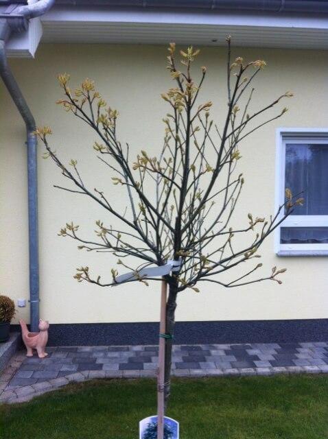 Kugelbaum - Baum mit runder Krone für Vorgarten