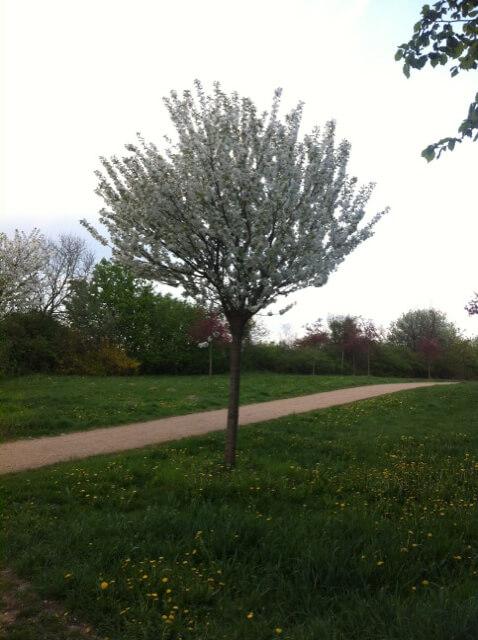 Kirschbaum für den Vorgarten?