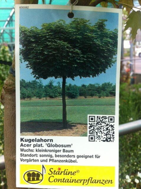 Kugelahorn - kleiner Baum mit runder Krone