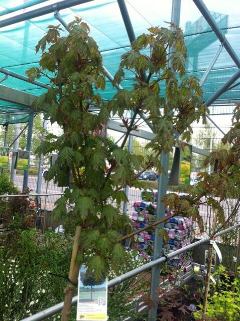 Kugelahorn im Baumarkt - Acer Plat Globosum