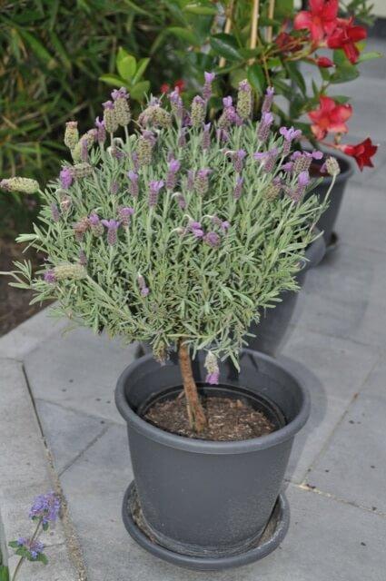 Lavendel-Topf auf der Terrasse - Lanvdelbaum / Lavendelstämmchen